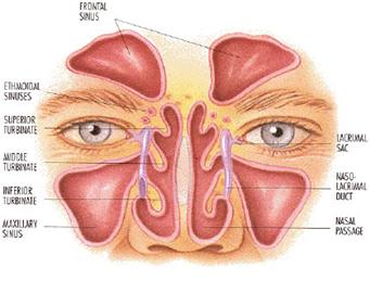 Nose Amp Sinus Infections Sinusitis The Ear Nose Throat